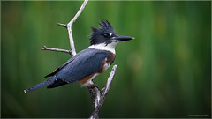 Belted Kingfisher (Chris Lue Shing) Tags: nikond7100 tamronsp150600mmf563divcusd bird aurora newmarket nokiidaatrail mckenziemarsh tree nature ontario canada beltedkingfisher chrislueshing bokeh