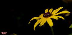 Gensia 1:12 (MBates Foto) Tags: flowers floral plants nature outdoors homeandgarden yellow spokane washington inlandwashington pacificnorthwest northamerica nikon nikond810 unitedstates 99203