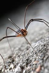 Harvestman (frosol) Tags: canoneos70d ef100mmf28lmacroisusm ef100mm makro macro spider edderkopp bug bugs insect insekt natur nature speedlite580exii