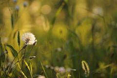 Salmone. (SimonaPolp) Tags: dandelions summer august canon bokeh nature field sun sunset light grass green
