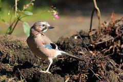 Closer and closer (david.england18) Tags: europeanjay jay smallbirds park muckheap various tits blue great coal queensparkheywood canon7d canonef300mmf4lisusm birdsuk