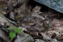 Northern Copperhead (commercialam3n) Tags: snake snakes timber rattlesnake copperhead crotalus horridus field herping herpetology 50 mm macro canon 6d zeiss planar makro reptile nature hiking mountain georgia