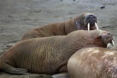walruses on the beach (nick taz) Tags: walruses beach edgeoya dolerittneset spitsbergen arctic wildlife