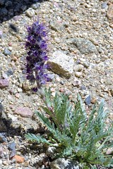 Purple Fringe (Patricia Henschen) Tags: wildflowers wildflower purplefringe phaceliasericea hydrophyllaceae summitlake denvermountainparks park lake mountains mtevansscenicbyway mtevans scenicbyway idahosprings colorado