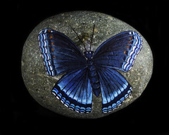 Rocky The Butterfly (Bill Gracey) Tags: butterfly color colorful blue blackbackground offcameraflash macrolens softbox filllight yn560iii yongnuorf603n homestudio tabletopphotography painting limentisarthemis