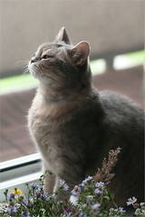 ... ,  . ! (lisrezoly) Tags: cat graycat  kittyschoice