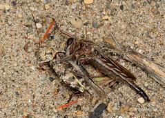 Robber Fly with grasshopper (Stoil Ivanov) Tags: asilidae robberfly robber fly with grasshopperrobber preypredatorprey relationshippredator preyillinois beach state parkproctacanthus milbertii