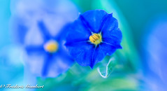 Blue destiny (frederic.gombert) Tags: solanum flower flowers light sun spring summer sunlight sky season sweet south soft shadow sunny color colors colorful countryside plant garden macro macrodreams nikon d810 dof