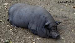 Profond sommeil (hobbyphoto18) Tags: animal cochon porc pig pork fermevernaelde coudekerquebranche hautsdefrance nordpasdecalais france ferme farm haiku pentaxk50 pentax k50 extrieur cochonnoir blackpig