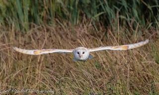 Barn owl (Tyto alba) Best viewed large