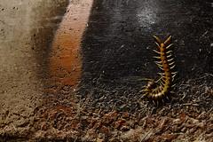Escolopendra (Antonio Martínez Tomás) Tags: nocturna urbana cienpies escolopendra miriápodo invertebrado