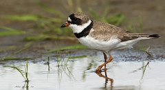 Pluvier semipalm / Semipalmated Plover (Alain Daigle) Tags: pluviersemipalm semipalmatedplover specanimal