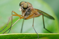 Marsh Snipe Fly (Front View) (Doundounba) Tags: pentax k3 pentaxdfa100mmf28macro raynox dcr250 insect bug montral qubec jardinbotanique botanicalgarden fly diptera mouche marshsnipefly rhagionidae rhagiotringarius compoundeyes topf25 pentaxart