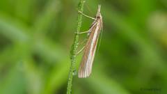 Nachtfalter an einem Grashalm (Oerliuschi) Tags: schmetterling butterfly nachtfalter motte insekt fluginsekt grashalm wassertropfen makro schärfentiefe heliconfocus