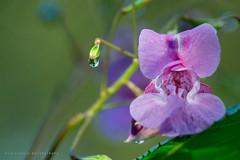 ericvisuals - Dewdrop (ericlimpens) Tags: 2016 bloem lila macro flower dewdrop dauwdruppel fantasticflower
