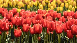 Tesselaar Tulip Festival [Explored]
