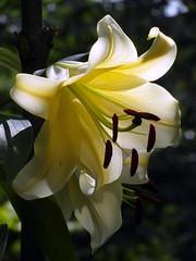 lily light (kexi) Tags: lily flower white yellow light gniazdowo poland polska samsung wb690 july 2015 vertical bokeh instantfave