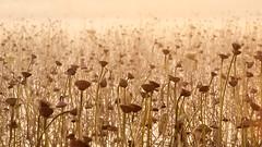 Withered lotus. (K16mix) Tags: japan miyagi kurihara izunuma lake lotus morning nature        eaafp ramsarconvention