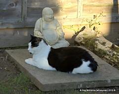 DSC_4898 - Vinnie on Archie's Grave (whiskymac) Tags: vinnie pets cats feline animals domesticcats