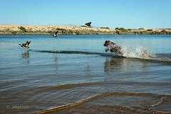 Practicing for the Opener (VenturaMermaid) Tags: water river coloradoriver bird ducks dog wetdog chase hunt nature swim movement natureinaction action animal waterfowl outside outdoor