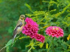 gold finch on fuschia zinnia (gwuphd) Tags: sony 50mm f18 bokeh goldfinch zinnia flowers fuschia nature