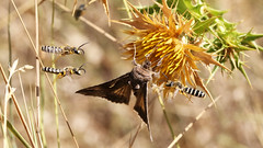 Silver Y moth under surveillance from 3 bees  Halictus sp. poss scabiosae) (jaytee27) Tags: silverymoth naturethroughthelens