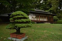 Sweet Bonsai (Oliver MK) Tags: sweet bonsai tree plant pot tea house meiji jingu inner garden gardens green nature natural asia japan tokyo nikon d5500 miniature cultivation