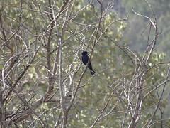 DSC06411 (familiapratta) Tags: sony dschx100v hx100v iso100 natureza pssaro pssaros aves nature bird birds guasdelindia guasdelindiasp brasil