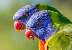 Rainbow Lorikeets (Howie44) Tags: rainbow lorikeet nature birds colour wildlife parrots australia