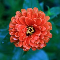 Orange Flower Macro (hbickel) Tags: orange flower macro macrolens photoaday pad canont6i canon