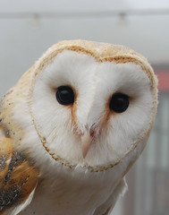 Heart shaped face (Halliwell_Michael ## More off than on this week #) Tags: 2016 nikond40x northyorkshire scarborough peasholmpark owls birds tawnyowl coth coth5