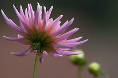 Au soleil d'automne (mrieffly) Tags: fleurdautomne bokeh pink canoneos50d 100400issériel