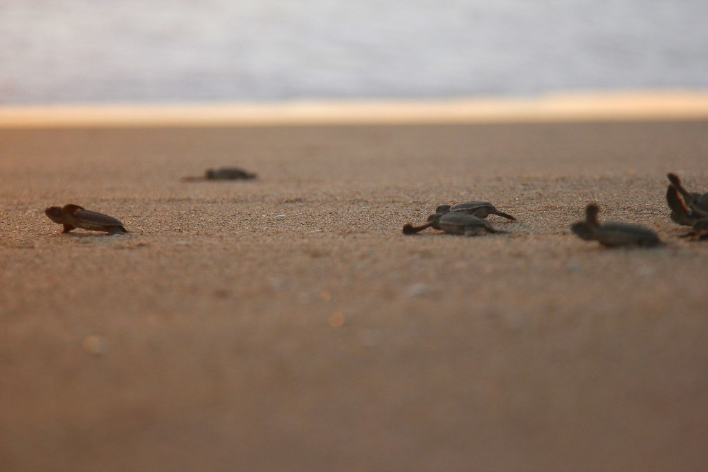 Turtles making a break for the waves, Ujung Genteng, West Java, Indonesia