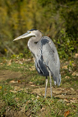 GREAT BLUE HERON (nsxbirder) Tags: ohio greatblueheron ardeaherodias harveysburg