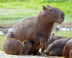 Feeding Time - Capybaras - Today's Explore #181,10/14/12 (masaiwarrior) Tags: splash autofocus beautifulearth amazingnature greatphotographers thegalaxy animalsworld shieldofexcellence peaceaward supersix fascinatingnature heartaward goldwildlife qualifiedmembersonly worldnatureandwildlifegroup wildlifeaward photographersworld naturessanctuary thewonderfulworldofnature greaterphotographers photographyforrecreation brazil2012 allnaturesparadise niceasitgets