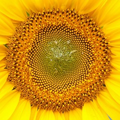Sunflower (Andreas Helke) Tags: flower color nature yellow canon square europa europe y natur explore sunflower fav dslr blume creidlitz twa quadrat gerrmany fav10 canoneos5d candreashelke fav4 fav8 i500 donothide frhwofavs fav5andmore fav2andmore uploaded2009 mymoreinterestingphotos gotnoticedagain shownbig