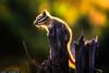 Chipmunk-at-Yellowstone-National-Park-on-Dead-Wood (Captain Kimo) Tags: chipmunk yellowstonenationalpark wyoming highdynamicrange photomatixpro singleexposurehdr captainkimo