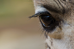 Giraffe Eye (MatthiasMM) Tags: