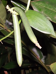 Vanilla planifolia (Dis da fi we) Tags: vanilla gardens puntagorda toledodistrict belize taxonomy:binomial=vanillaplanifolia vanillaplanifolia toledo hickateebelize hickateepuntagorda jungle rainforest forest wildlife culture cottages hickatee