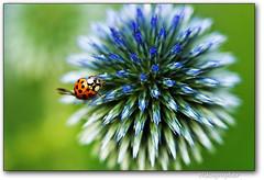 Boom! (Nikographer [Jon]) Tags: flower macro md nikon thistle beetle maryland boom jul 2012 brooksidegardens d4 105mm 105mmf28 julu nd42781