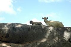 Sandema (MadisonBoratto) Tags: africa tree town goat ghana operation groundswell sandema