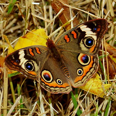 got one after all (aokcreation) Tags: color macro animal closeup butterfly insect botanical wildlife ngc buckeye naturesfinest anawesomeshot blinkagain sonyslta65v