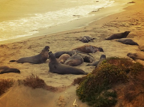 "Elephant Seals - Pacific Coast Highway 1 - Big Sur California • <a style=""font-size:0.8em;"" href=""http://www.flickr.com/photos/20810644@N05/8142867694/"" target=""_blank"">View on Flickr</a>"