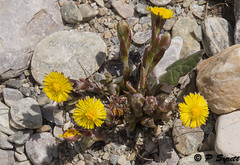 Tussilago farfara (Pol/S) Tags: plants france nature europe year location 2012 overseas alpineplants coltsfoot tussilagofarfara