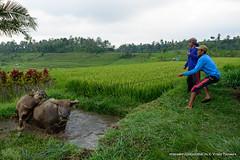 Jatiluwih rice terraces (Vitaly Taysaev) Tags: bali heritage rice terraces unesco ricepaddy jatiluwih