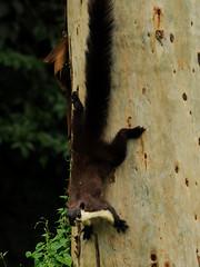 Ratufa bicolor gigantea - Assam-Riesenhrnchen - Assamese black giant squirrel (Kowari) Tags: india squirrel indie assam indien mammalia jorhat rodentia hrnchen giantsquirrel nearthreatened riesenhrnchen ratufabicolor ratufa blackgiantsquirrel hoollongapargibbonsanctuary ratufabicolorgigantea malaienriesenhrchen
