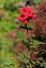 Backyard Rose (A Great Capture) Tags: toronto ontario canada flower rose garden backyard on ald ash2276 ashleyduffus ashleylduffus wwwashleysphotoscom