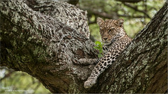 Leopard (Raymond J Barlow) Tags: africa tree green nature animal tanzania wildlife 200400vr nikond300 raymondbarlowtours