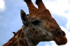 Red-billed Oxpecker on a Giraffe (bsmity13) Tags: africa wild game bird southafrica african aves giraffe np livestock za symbiotic avian krugernationalpark symbiosis oxpecker giraffacamelopardalis redbilledoxpecker buphaguserythrorhynchus