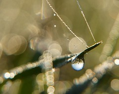 Moment of Clarity (Misty DawnS) Tags: abstract macro nature water grass dewdrops dewdrop missouri dew waterdrops waterreflection naturephotography macrophotography abstractphotography waterdropmacro natureabstract sonya580 mistydawns